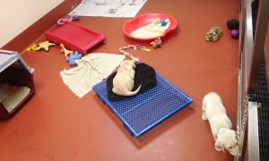 "Welpen-Schlafzimmer bei ""Guiding Eyes for the Blind"""