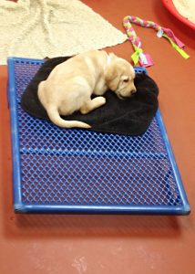 "Im Welpen-Schlafzimmer bei ""Guiding Eyes for the Blind"""
