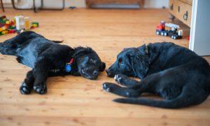 Hundewelpen im Wohnzimmer