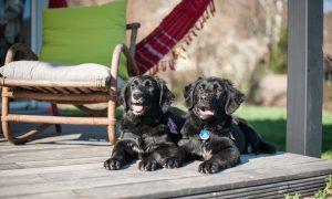 Hundewelpen auf der Terrasse