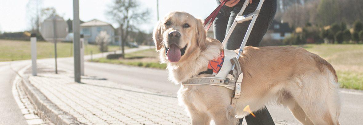 Blindenhund beim Überqueren der Straße